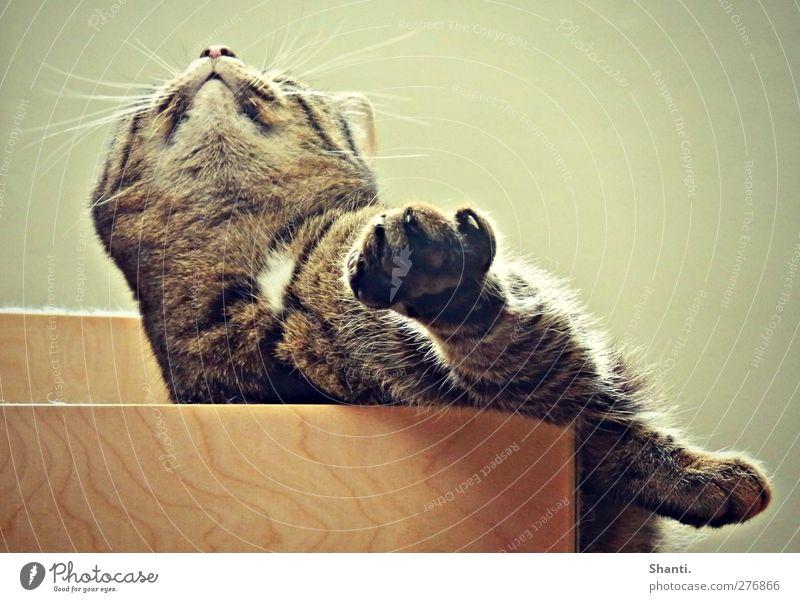 schräg im Bild Tier Haustier Katze Tiergesicht Fell Krallen Pfote 1 Holz liegen grün Langeweile Erholung Erwartung Gelassenheit ruhig Farbfoto Innenaufnahme