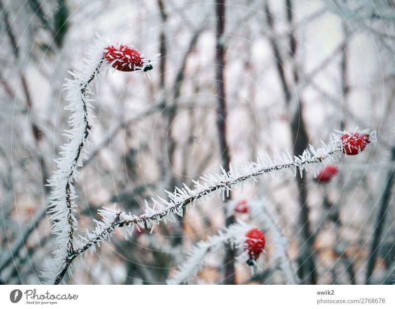 Winterspiele Umwelt Natur Landschaft Pflanze Eis Frost Schnee Sträucher Hagebutten Hecke Wald frieren kalt bewegungslos Farbfoto Außenaufnahme Detailaufnahme