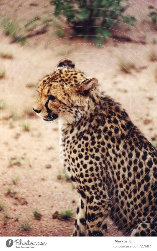 Der Sprinter Katze Geschwindigkeit Afrika Stolz Jäger Krallen Namibia Schnurren Landraubtier Gepard