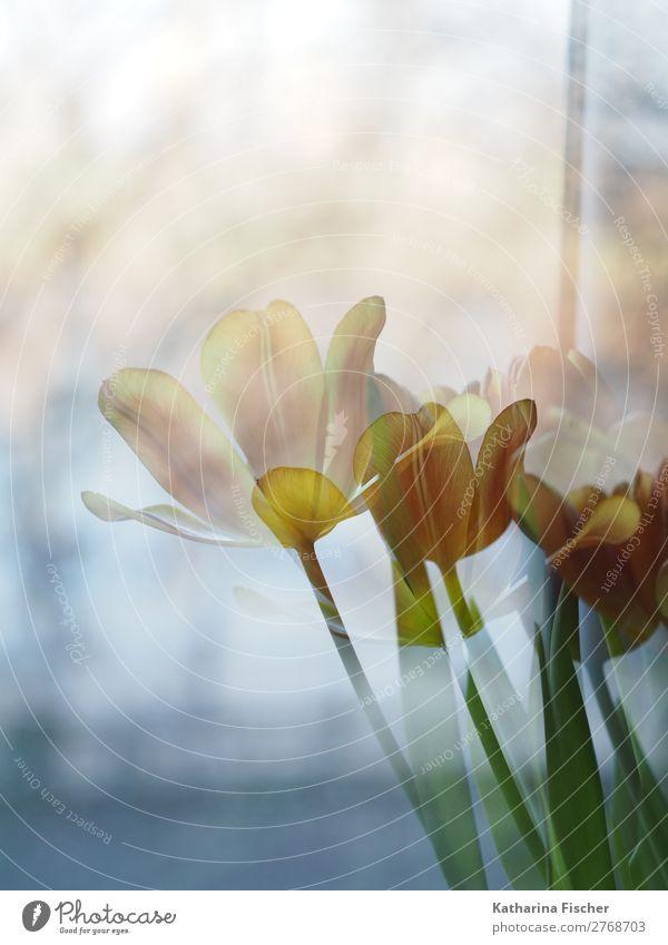 Tulpen gelb orange Kunst Natur Pflanze Frühling Sommer Herbst Winter Blume Blatt Blüte Blumenstrauß Blühend leuchten gold grün türkis weiß Frühlingsgefühle