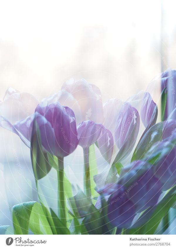 Tulpen lila Kunst Natur Pflanze Frühling Sommer Herbst Winter Blume Blatt Blüte Blumenstrauß Blühend leuchten Duft schön blau grün violett gemalt