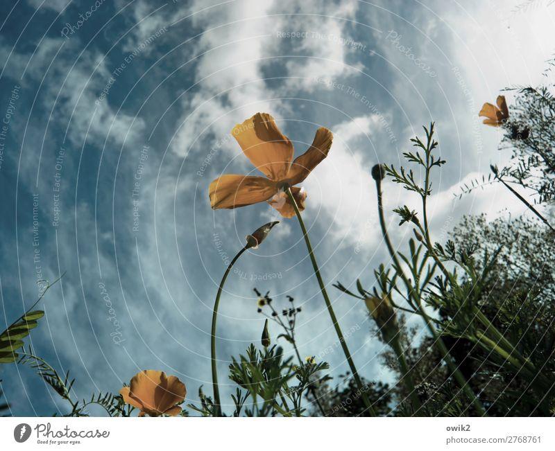 Fly me to the Mohn Umwelt Natur Landschaft Pflanze Luft Himmel Wolken Frühling Schönes Wetter Blume Sträucher Blüte Garten Wiese Bewegung Blühend Wachstum klein