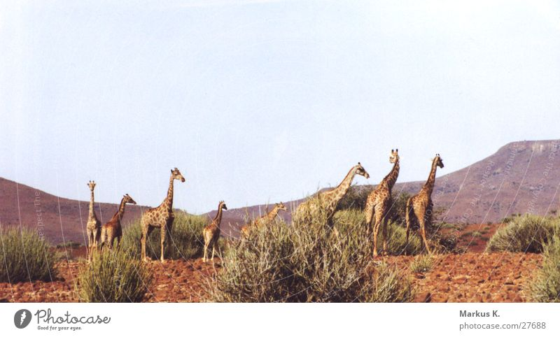 Giraffen rot mehrere lang Afrika Hals Koloss Namibia