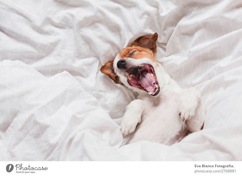 süßer Hund schläft und gähnt auf dem Bett, weißes Laken, morgens Lifestyle Krankheit Leben Erholung Freizeit & Hobby Winter Haus Schlafzimmer Tier Herbst