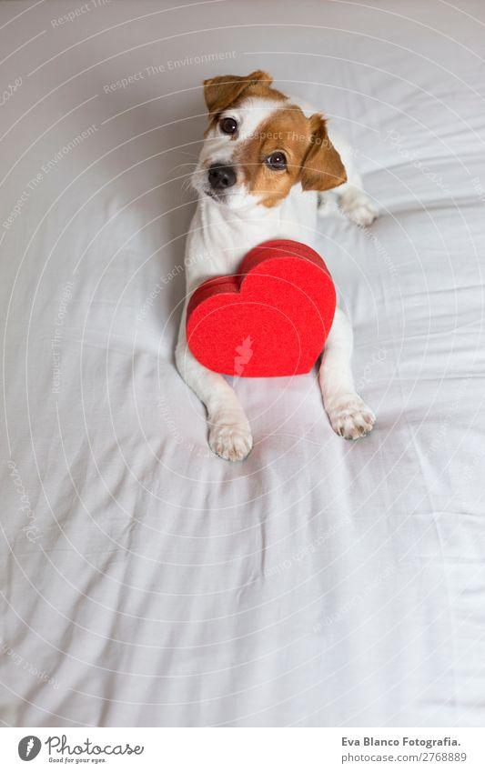 süßer junger kleiner Hund auf dem Bett sitzend mit einem roten Herzen Lifestyle Freizeit & Hobby Haus Raum Feste & Feiern Valentinstag Tier Haustier 1
