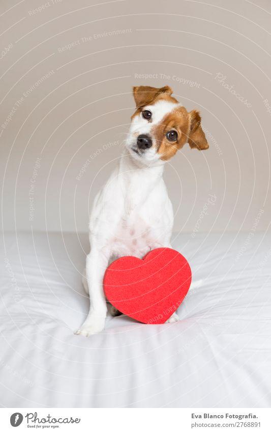 Hund schön weiß rot Haus Tier Lifestyle Liebe lustig Feste & Feiern klein braun Freundschaft Freizeit & Hobby Raum Herz