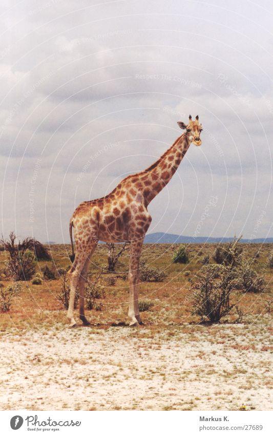 Giraffe Afrika Hals Koloss Namibia Giraffe Etoscha-Pfanne