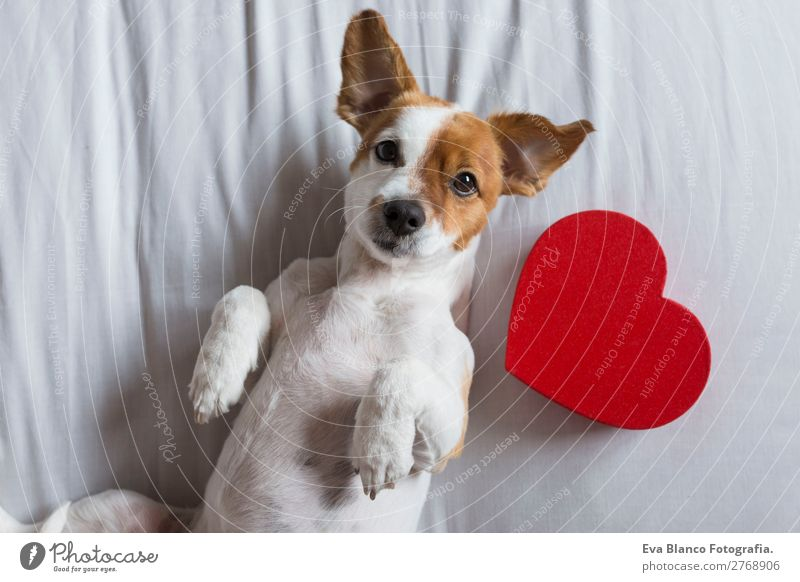 Hund schön weiß rot Haus Tier Lifestyle Holz Liebe natürlich lustig Glück Feste & Feiern klein braun Freundschaft