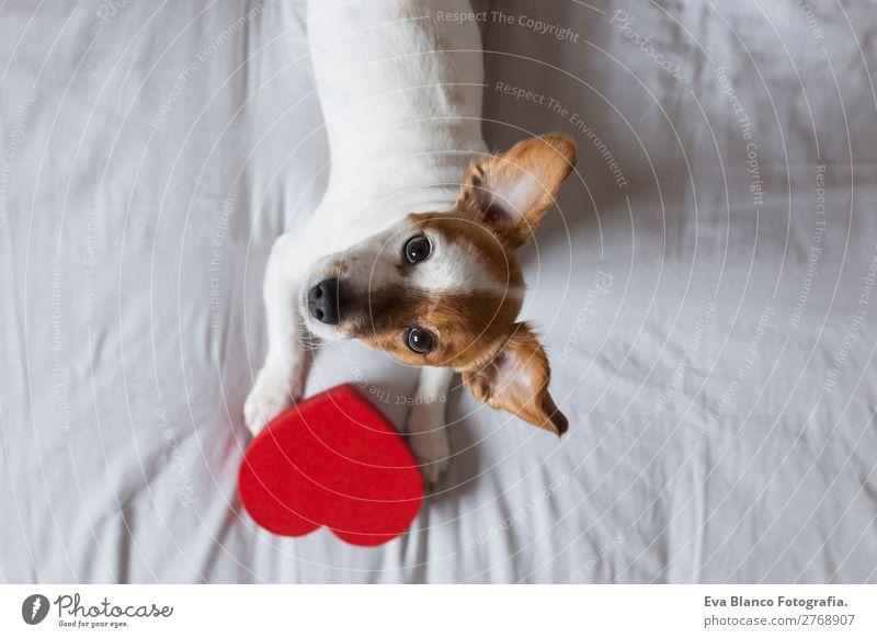 süßer junger kleiner Hund auf dem Bett sitzend mit einem roten Herzen Lifestyle Freizeit & Hobby Haus Raum Feste & Feiern Valentinstag Tier Haustier 1 Holz