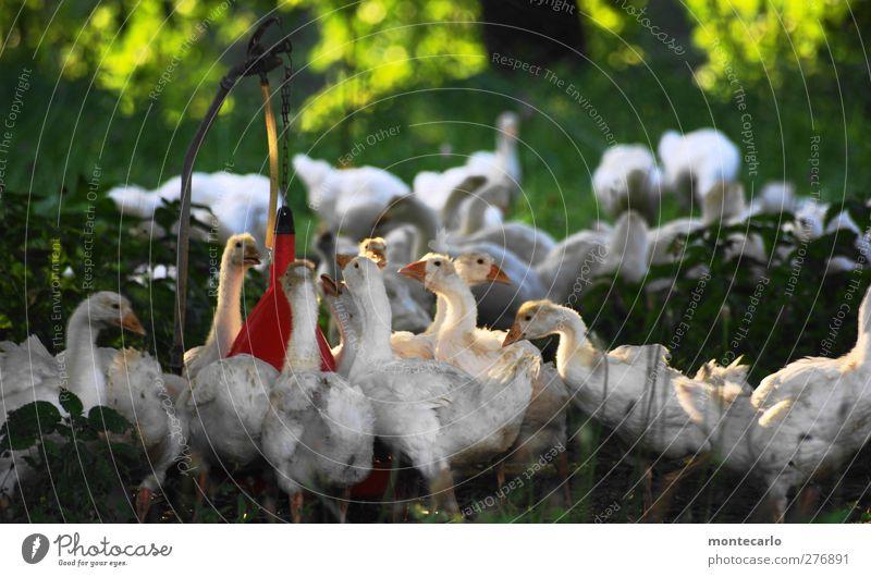 Antanzen... Natur Sommer Tier Umwelt Tierjunges Zusammensein wild dreckig authentisch Tiergruppe Schönes Wetter niedlich weich dünn Gans Nutztier
