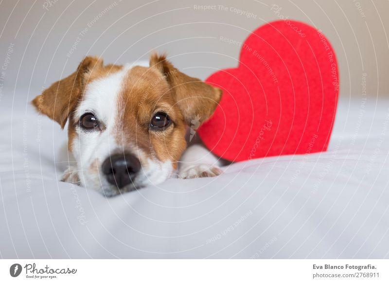 Porträt eines süßen Hundes, der auf dem Bett liegt. Lifestyle Freizeit & Hobby Wohnung Haus Raum Valentinstag Tier Haustier 1 Herz Denken Liebe Blick kuschlig