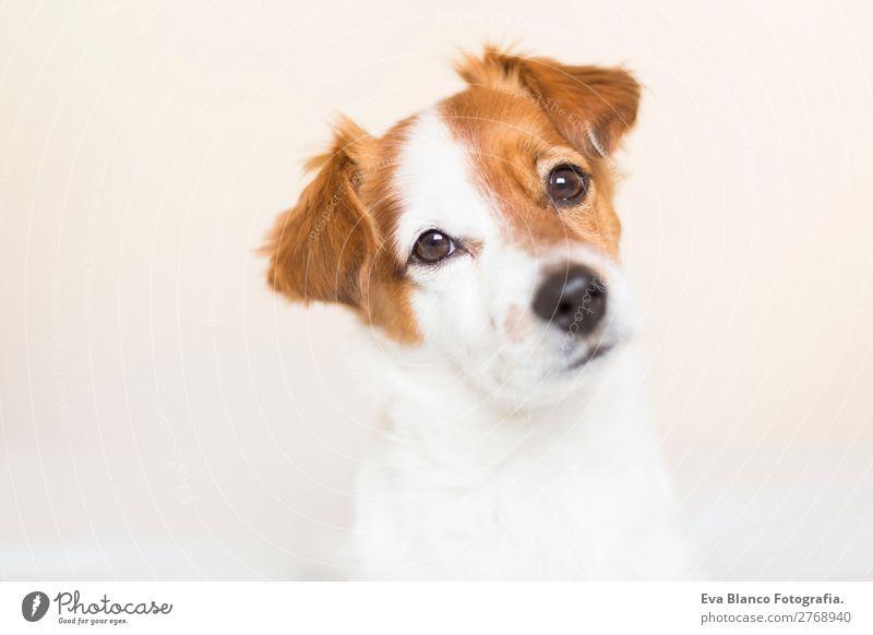 Hund schön weiß Tier Lifestyle natürlich braun Denken Freundschaft Häusliches Leben Freizeit & Hobby einzigartig niedlich beobachten Freundlichkeit Neugier