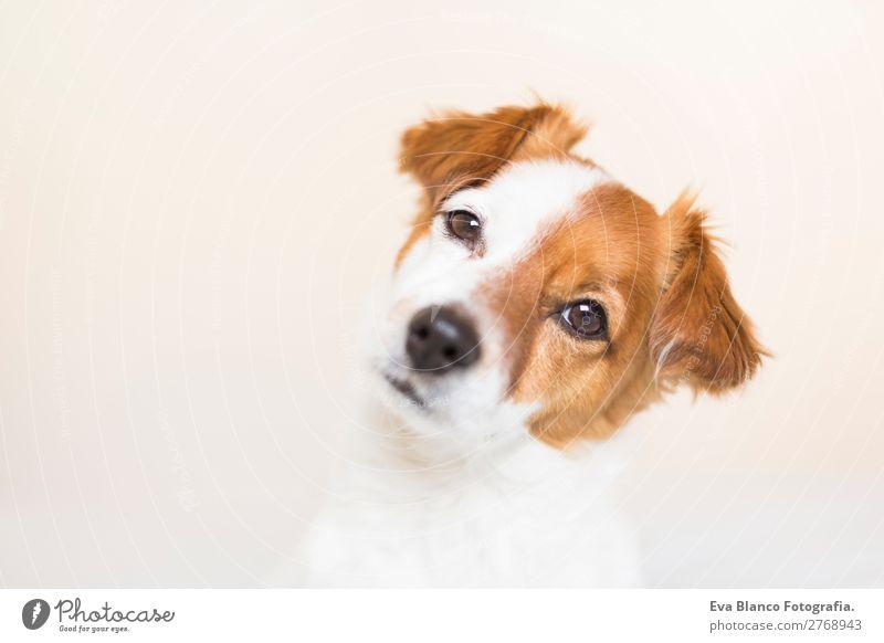 Hund schön weiß Haus Tier Lifestyle natürlich braun Denken Freundschaft Häusliches Leben Freizeit & Hobby einzigartig niedlich beobachten Freundlichkeit