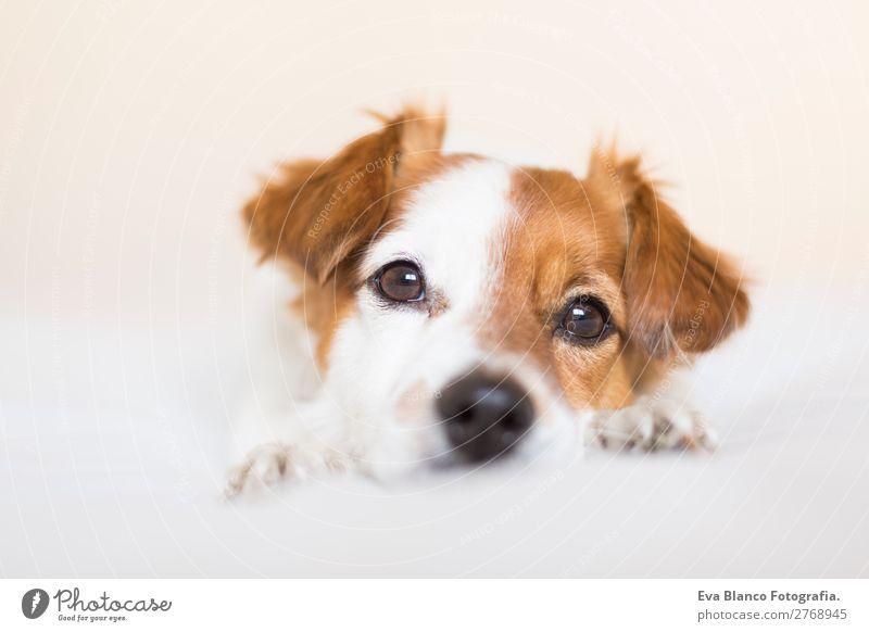 Porträt eines süßen Hundes auf dem Bett Lifestyle Freizeit & Hobby Häusliches Leben Raum Haus Tier Haustier 1 Denken genießen liegen Blick schlafen