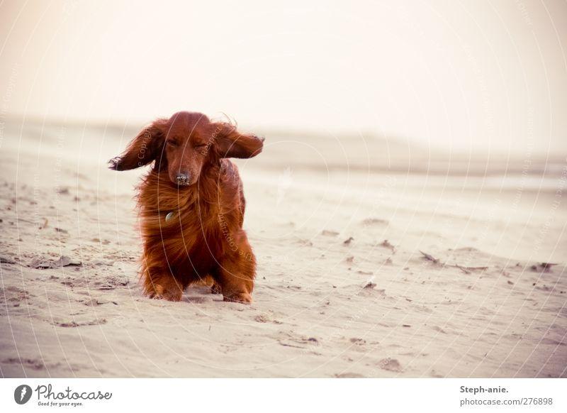 Blöder Wind Hund Sommer Meer Strand Tier Küste Traurigkeit lustig Wind sitzen Insel authentisch stehen niedlich einzigartig Nordsee