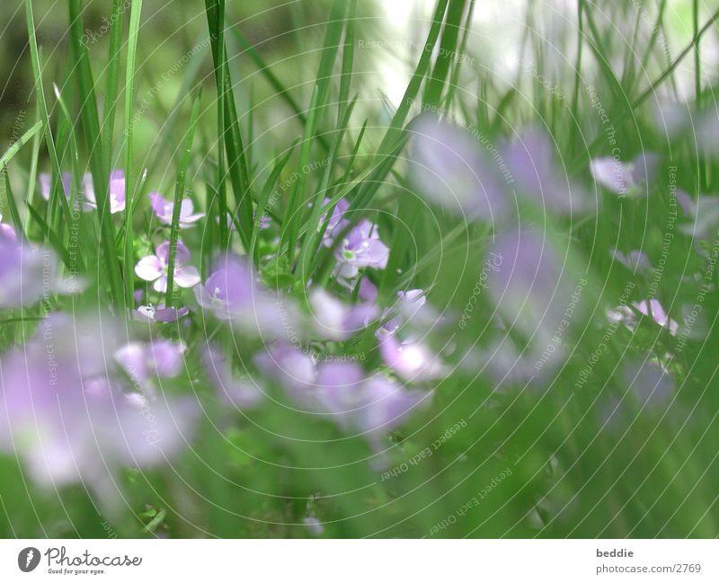 wiesenschaumkraut Blüte Blume Wiese Frühling Gras Wiesen-Schaumkraut