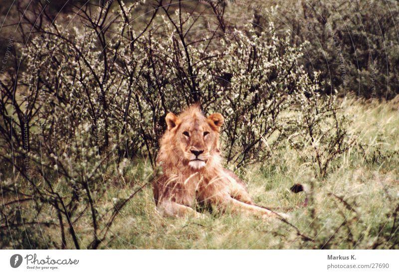 The King Katze Afrika Wildtier Respekt Raubkatze König Löwe Krallen Jäger Namibia Mähne Landraubtier
