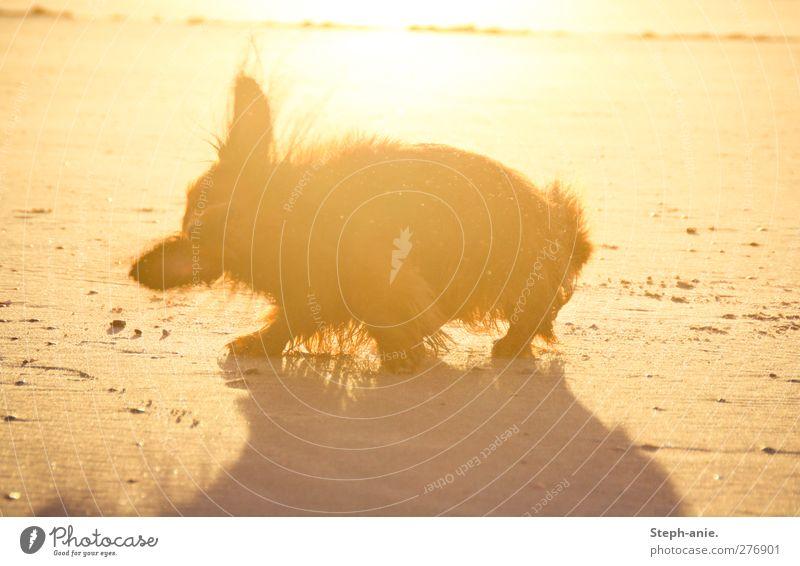 Nach dem Baden Hund Sommer Sonne Meer Freude Strand Küste Glück Sand Schwimmen & Baden Wellen nass stehen Wassertropfen Sauberkeit Seeufer