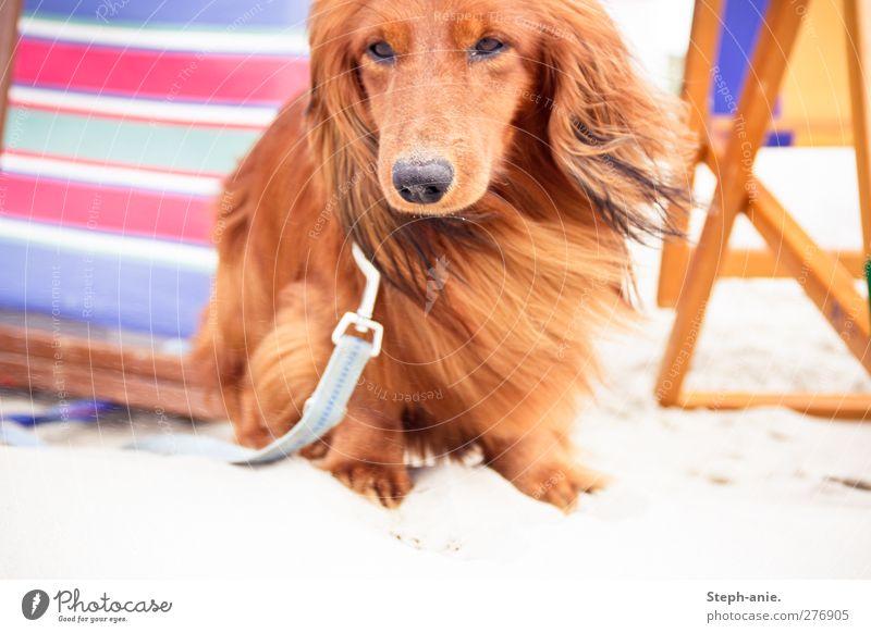 Der Urlaubsfelix Hund Ferien & Urlaub & Reisen Sommer Strand Erholung Bewegung Küste Sand natürlich Freizeit & Hobby Pause beobachten Neugier Freundlichkeit