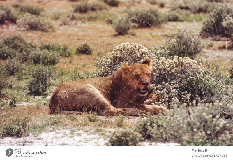 The Queen Katze Afrika Wildtier Löwe Respekt König Krallen Jäger Namibia Landraubtier Raubkatze Löwin
