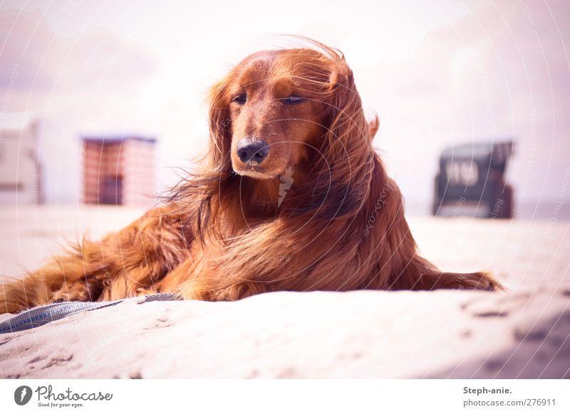 Hallo Herr Felix! Hund Ferien & Urlaub & Reisen Strand Wolken ruhig Erholung Küste Sand liegen elegant Schönes Wetter beobachten Kommunizieren einzigartig