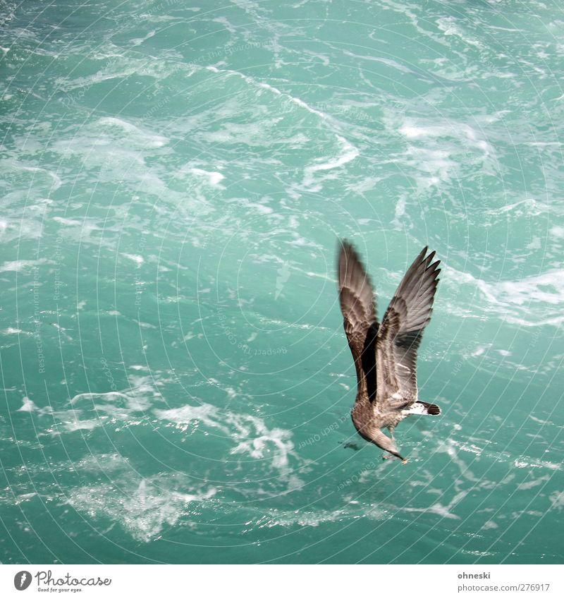 Catch! Urelemente Meer Vogel Möwe 1 Tier fliegen füttern grün türkis Flügel Beute Farbfoto Außenaufnahme Textfreiraum links Textfreiraum oben Tierporträt
