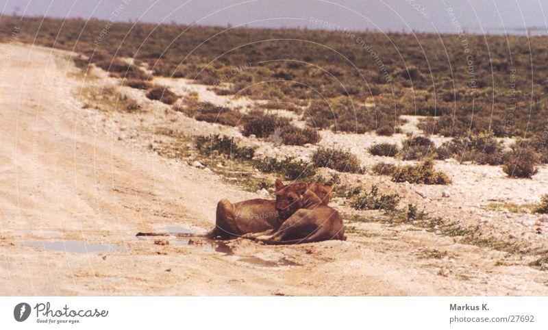 In der Ruhe liegt die Kraft Löwe Rudel Löwin Krallen Jäger Landraubtier Katze Namibia Afrika Pause Müdigkeit satt großkatze Wildtier Erschöpfung