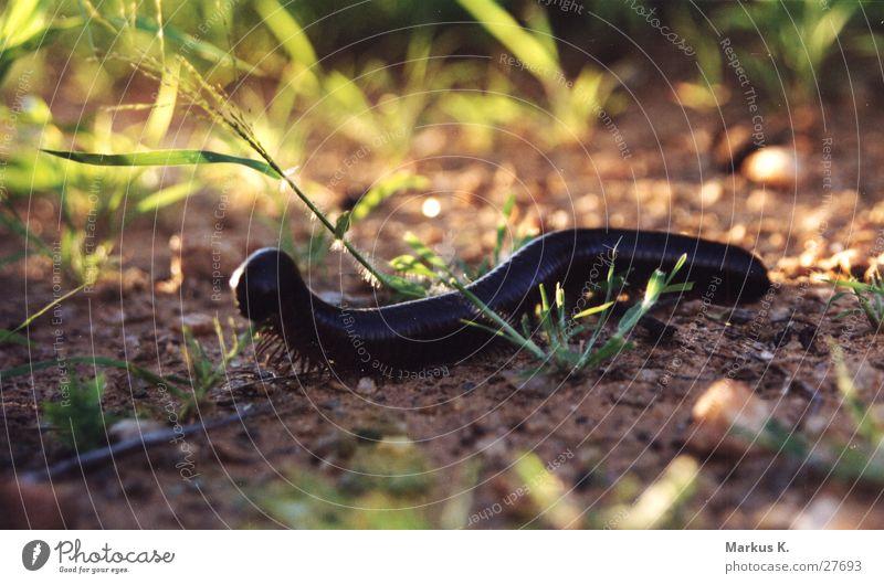 Kleiner Riese schwarz Fuß groß Afrika Insekt Koloss Namibia Tausendfüßler