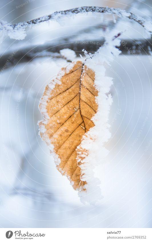 Rauhreif Umwelt Natur Wasser Winter Klima Wetter Eis Frost Schnee Pflanze Blatt Buchenblatt Herbstfärbung Park Wald kalt Raureif Blattadern Zweig Farbfoto