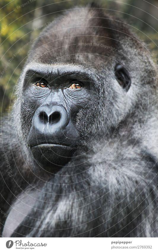 gorilla Tier Wildtier Affen Gorilla 1 beobachten bedrohlich Zoo Gedeckte Farben Außenaufnahme Tag Tierporträt Blick Blick in die Kamera Blick nach vorn