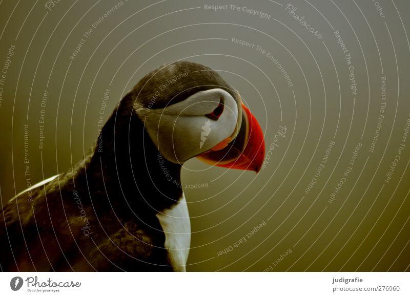 Island Natur Vogel natürlich Wildtier sitzen wild warten niedlich Papageitaucher