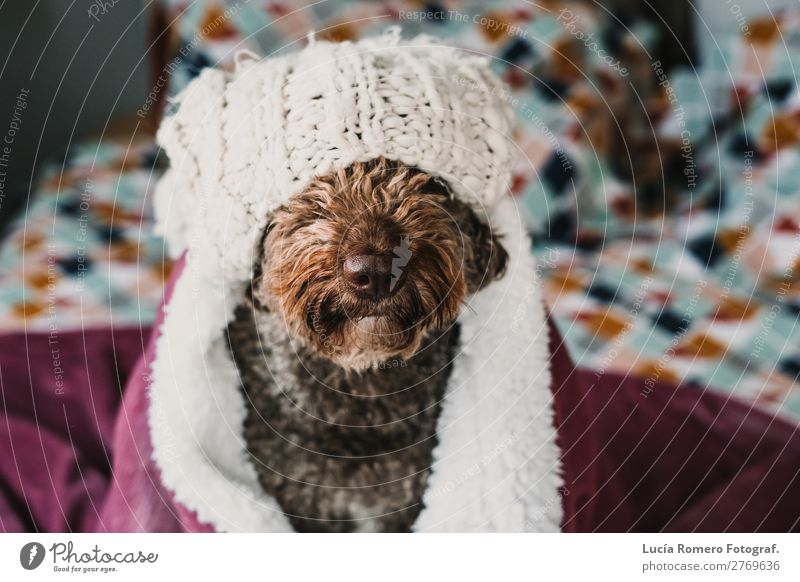 Brauner Hund, bedeckt mit einer rosa Decke. Lebensstil. Lifestyle Freude schön Erholung Schlafzimmer Freundschaft Tier Haustier Liebe Freundlichkeit lustig