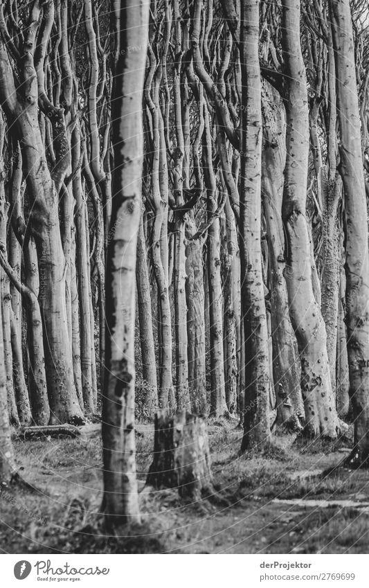 Gespensterwald Nienhagen an der Ostsee Ferien & Urlaub & Reisen Tourismus Ausflug Abenteuer Ferne Freiheit Strand Meer wandern Umwelt Natur Landschaft Pflanze