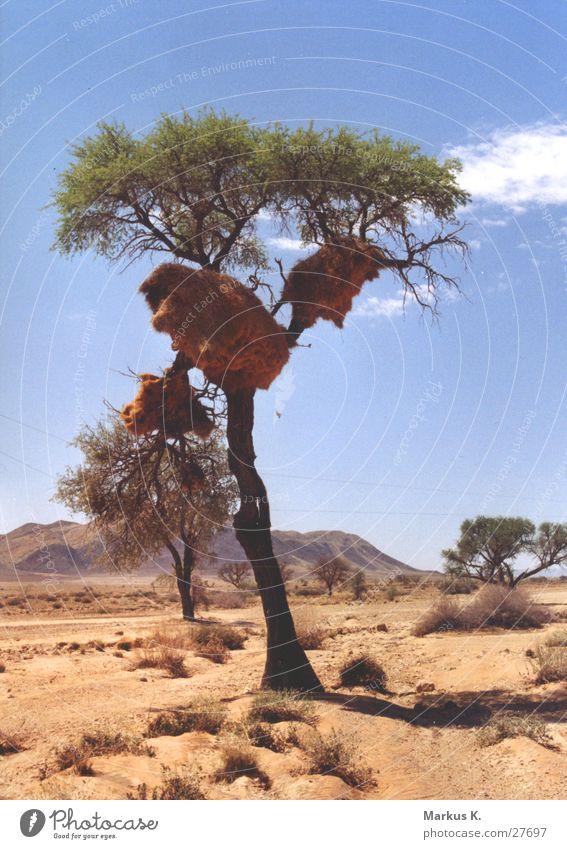 Siedlerwebervogel-Nest Baum Halbwüste Gesellschaft (Soziologie) voglenest Domizil