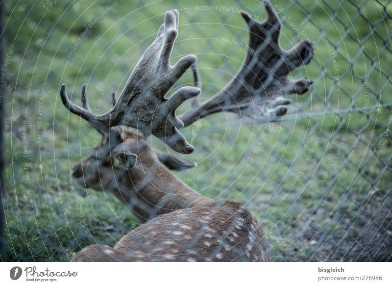 Waidmanns Heil I Wildfleisch Tier Wildtier Zoo Hirsche 1 liegen braun grün Farbfoto Gedeckte Farben Außenaufnahme Menschenleer Tag Tierporträt Rückansicht