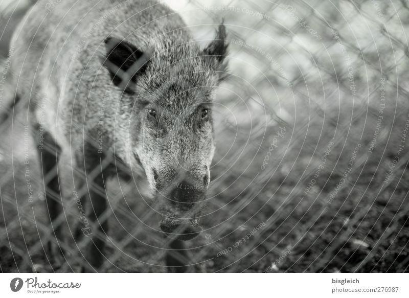 Waidmanns Heil II Fleisch Tier Wildtier Tiergesicht Fell Zoo Wildschwein 1 Blick stehen grau Farbfoto Gedeckte Farben Außenaufnahme Menschenleer