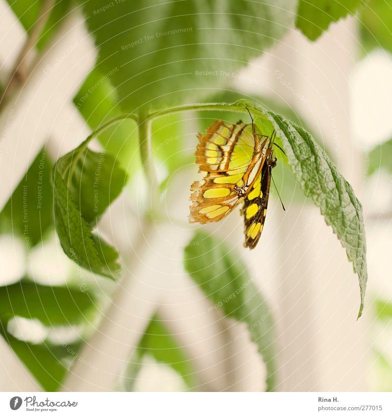 Schmetterling Pflanze Sträucher Blatt 1 Tier hängen hell gelb grün Farbfoto Menschenleer Schwache Tiefenschärfe