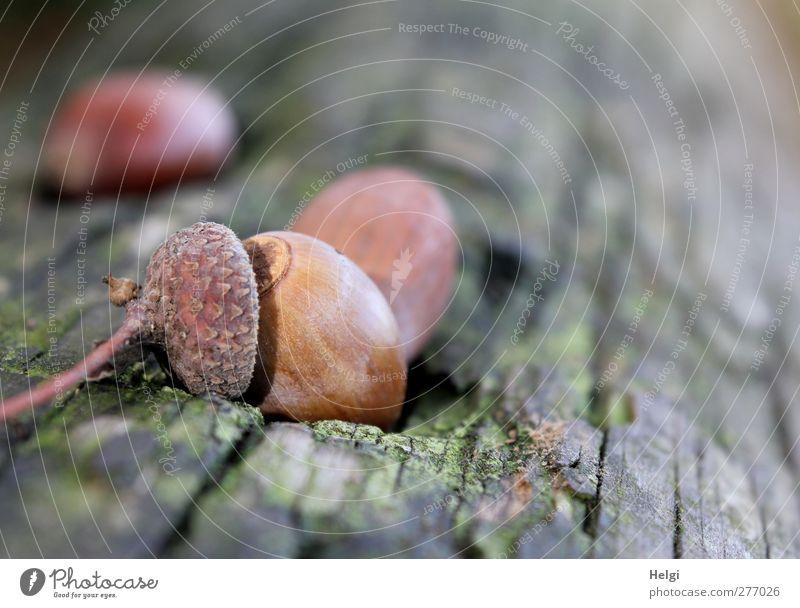 Hut ab... Umwelt Natur Pflanze Herbst Baumstamm Eicheln Frucht Wald Holz berühren liegen dehydrieren ästhetisch authentisch einfach klein natürlich braun grau