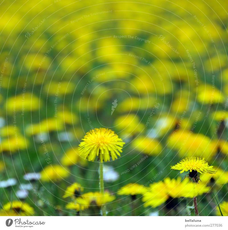 Hiddensee | Endlose, gelbe Weiten. Umwelt Natur Pflanze Frühling Blume Gras Blüte Wildpflanze Garten Park Wiese grün Löwenzahn Löwenzahnfeld Gänseblümchen