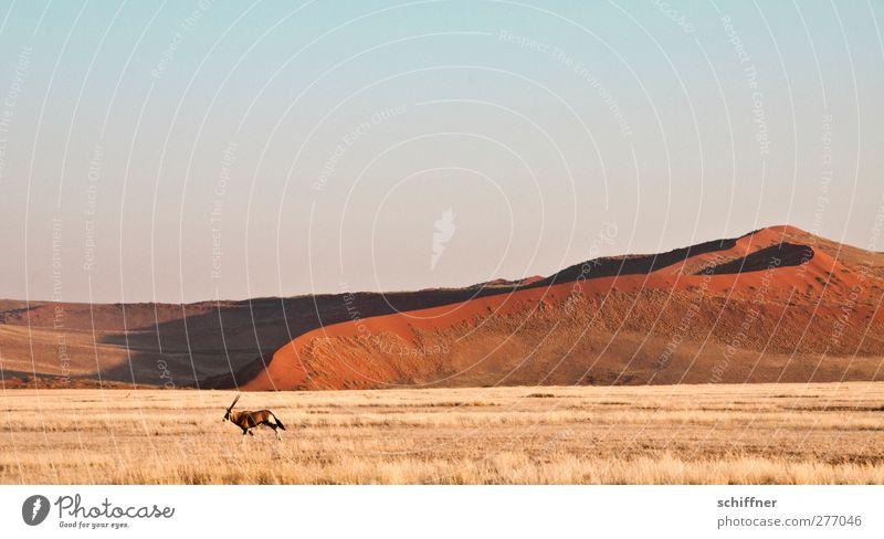 Dekoratirves Rummrennen vor roter Düne I Natur Tier Landschaft Ferne Gras Freiheit Wildtier Wüste Stranddüne Grasland Steppe Namibia
