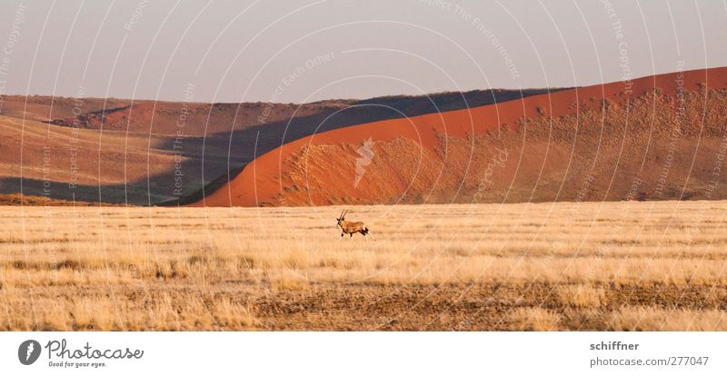 Dekoratirves Rummrennen vor roter Düne II rot Tier Ferne Gras Freiheit Wildtier Wüste rennen Stranddüne Düne Grasland Steppe Namibia Namib Sossusvlei Antilopen