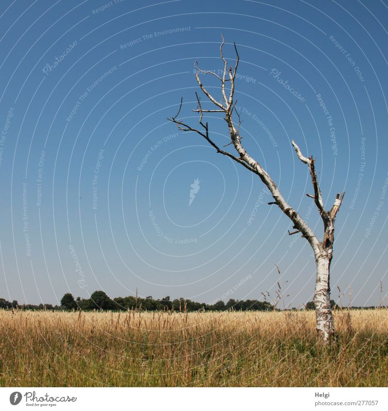 standhaft... Umwelt Natur Landschaft Pflanze Wolkenloser Himmel Sommer Schönes Wetter Wärme Baum Gras Grünpflanze Nutzpflanze Birke Getreide Feld alt stehen