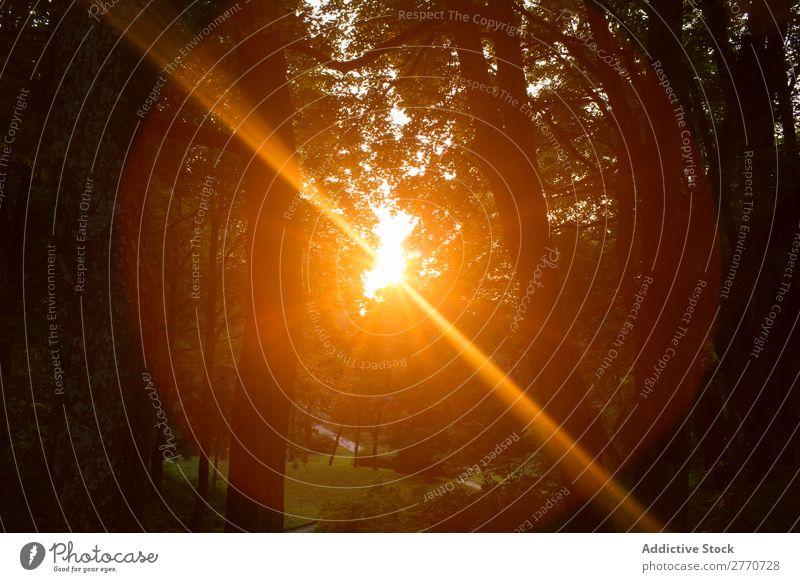 Helles Sonnenlicht in Bäumen Wald Sonnenuntergang hell Baum Landschaft mehrfarbig Sonnenstrahlen Sommer Park Licht Natur glänzend natürlich Szene Glanz