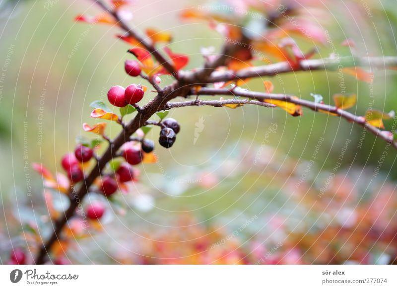 Herbstfärbung Natur grün rot Pflanze Blatt Umwelt Traurigkeit braun Frucht Wachstum Sträucher Ast Trauer Jahreszeiten herbstlich