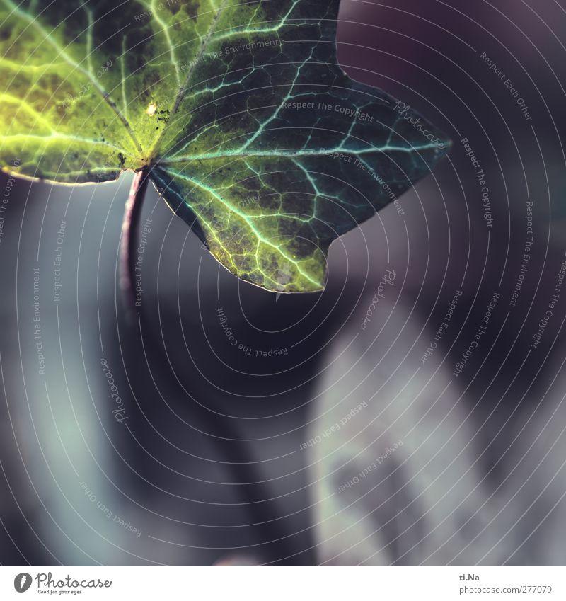 Wintergrün Herbst Efeu Blatt Grünpflanze Garten Wachstum blau grau Außenaufnahme Nahaufnahme Makroaufnahme Textfreiraum unten Schwache Tiefenschärfe