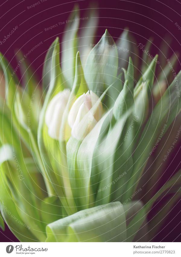 Tulpen weiß Doppelbelichtung Kunst Natur Pflanze Frühling Sommer Herbst Winter Blume Blatt Blüte Blumenstrauß Blühend leuchten außergewöhnlich schön grün türkis