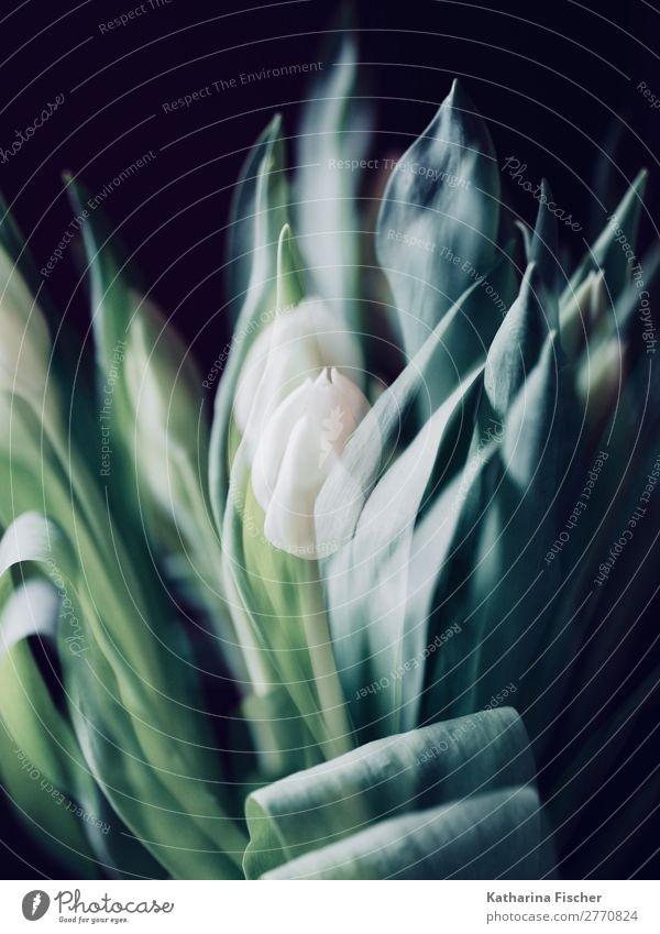 Doppelbelichtung Tulpen weiß Blüten Kunst Kunstwerk Natur Pflanze Frühling Sommer Herbst Winter Blume Blumenstrauß Blühend leuchten Wachstum ästhetisch