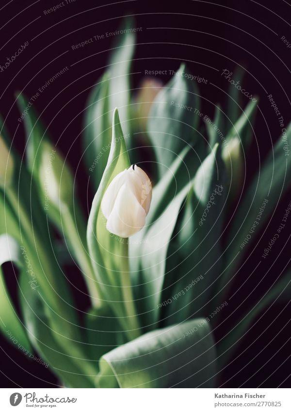 Tulpe weiß Blumenstrauss malerisch schön Sommer Pflanze grün Winter Herbst Frühling Dekoration & Verzierung leuchten ästhetisch Blühend Blumenstrauß türkis