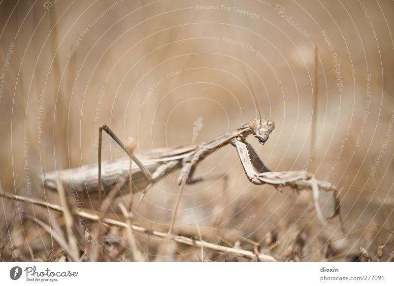 Die Seherin -1- Natur Tier Umwelt Gras Erde außergewöhnlich natürlich Wildtier beobachten bedrohlich gruselig Insekt selten Gottesanbeterin Fangschrecken