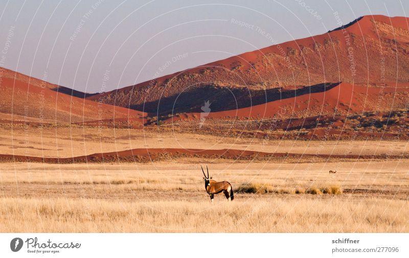 Dekoratives Rumstehen vor roter Düne again Natur rot Tier Landschaft Ferne Umwelt Gras Freiheit Wildtier stehen Wüste Stranddüne Düne Wolkenloser Himmel Grasland Steppe